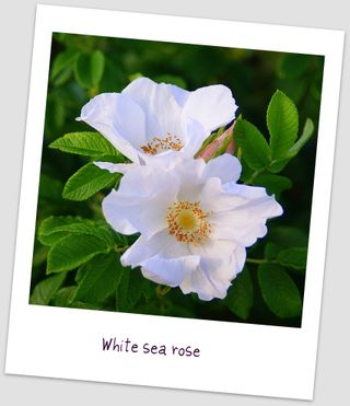 White sea rose uto