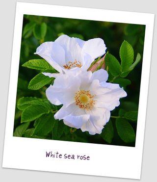 White sea rose uto
