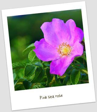 Pink sea rose uto